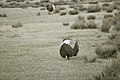 Male Greater Sage-Grouse (6948218154).jpg