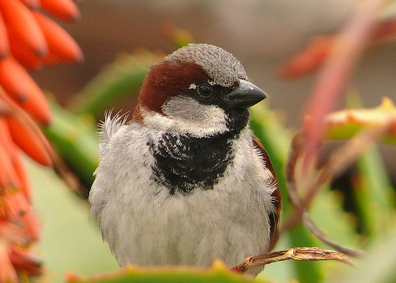 File:Male House Sparrow (2).jpg