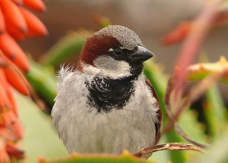 File:Male House Sparrow (2).jpg