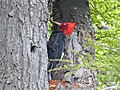 Male Magellanic woodpecker (Campephilus magellanicus).jpg