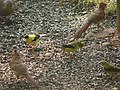 Male and Female Cardinals and Gold Finches (6330223251).jpg