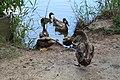 Mallard ducks 2, General Coffee State Park.jpg
