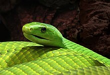 A bright lime-green snake on a dark background