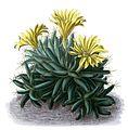 Mammillaria longimamma BlKakteenT73.jpg