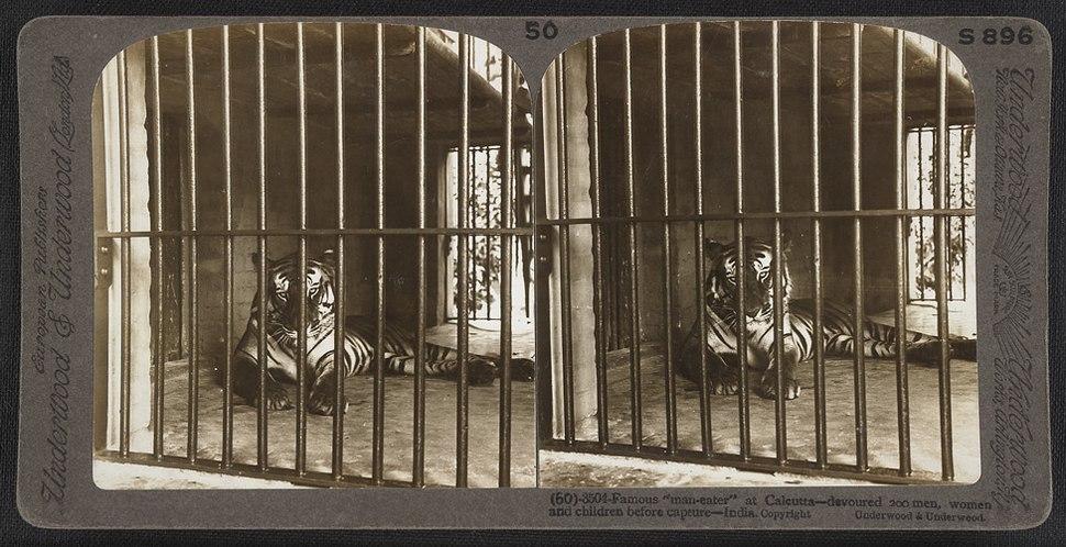 Maneater calcutta1903 stereoscopic