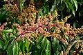 Mango (Mangifera indica) (14484863559).jpg