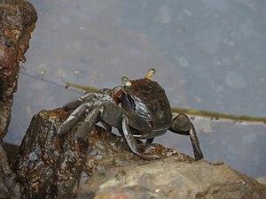 Salim Ali Bird Sanctuary - Image: Mangrove crab 01