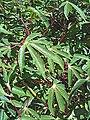 Manihot esculenta - leaves (Euphorbiaceae) 01.jpg