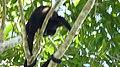 Mantled Howler Monkeys. Alouatta palliata (41232291872).jpg