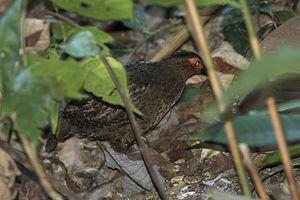 Marbled wood quail - Image: Marbled Wood Quail Rio Tigre Costa Rica MG 7758 (26101675664)