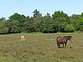 Mare and foal, near Black Barrow, New Forest - geograph.org.uk - 184405.jpg