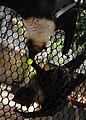 Mariana fruit bat 2.jpg