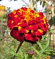Marigold (Blackish Red And Yellow).jpg