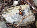 Mariposa Buga 1.JPG