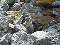 Marmot Lake Louise.jpg