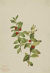 Red Comandra (Comandra livida)