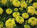 Marygold from Lalbagh flower show Aug 2013 8420.JPG
