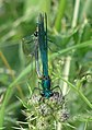 Mating Banded Demoiselles near Broadbridge Farm - geograph.org.uk - 237979.jpg