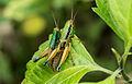 Mating grasshoppers at Mangunan Orchard, Dlingo, Bantul, Yogyakarta 04.jpg