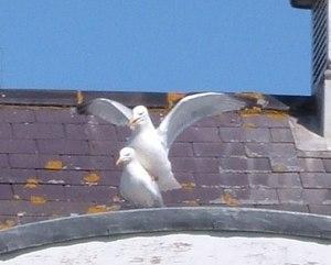 Seagulls mating