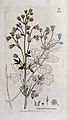 Meadow-rue (Thalictrum majus); flowering stem, leaf and flor Wellcome V0044221.jpg