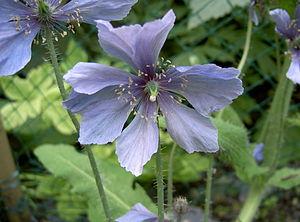 Meconopsis horridula - Meconopsis horridula flower