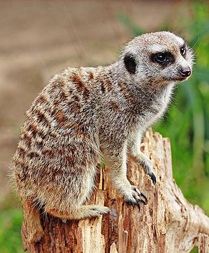 Image:Meerkat - melbourne zoo.jpg
