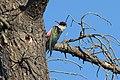Melanerpes lewis -California -USA-8.jpg