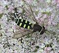 Melangyna labiatarum (female) - Flickr - S. Rae (1).jpg