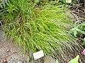 Melica teneriffae - University of California Botanical Garden - DSC08950.JPG