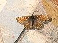 Melitaea aurelia - Nickerl's fritillary - Шашечница аврелия (26280345007).jpg