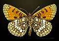 Melitaea varia MHNT CUT 2013 3 29 Cervières male ventral.jpg