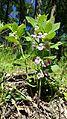 Melittis melissophyllum sl1.jpg