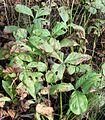 Menyanthes trifoliata20090914 373.jpg