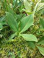 Menyanthes trifoliata sl2.jpg