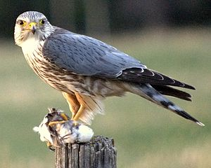 Merlin (bird) - Male prairie merlin (F. c. richardsoni) with prey in Alberta (Canada)