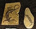 Mesosaurus tenuidens 7654.jpg