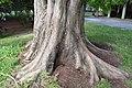 Metasequoia glyptostroboides in Christchurch Botanic Gardens 01.jpg