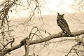 Mighty Indian Eagle Owl or Rock Eagle Owl, Bubo Bengalensis.jpg