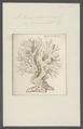 Millepora alcicornis - - Print - Iconographia Zoologica - Special Collections University of Amsterdam - UBAINV0274 111 07 0007.tif