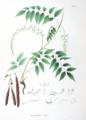 Millettia japonica SZ43.png