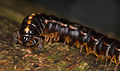 Millipede from Ecuador (15174267732).jpg