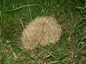 European hedgehog - Blonde hedgehog