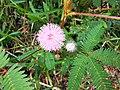Mimosa pudica Bourail.jpg