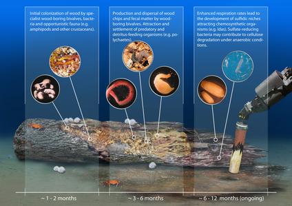 A model of the succession of deep sea communities on wood fall