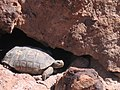 Mojave Desert Tortoise (Gopherus agassizii) (6011952189).jpg