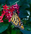 Monarch Butterfly 1 (7974491409).jpg