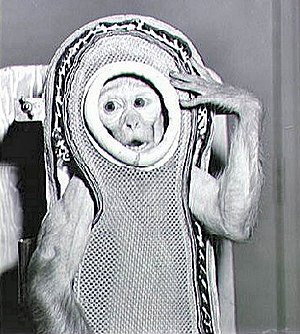 Monkeys and apes in space - Sam, a rhesus monkey, flew to an altitude of 88 km in 1959. (NASA)