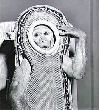Monkeys and apes in space - Sam, a rhesus macaque, flew to an altitude of 88 km in 1959. (NASA)
