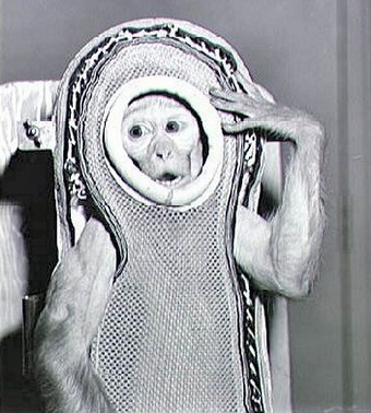 Sam, a rhesus macaque, was flown into space by NASA in 1959 Monkey Sam Before The Flight On Little Joe 2.jpg